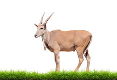 Eland with green grass isolated Royalty Free Stock Images