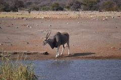 Eland i den Etosha nationalparken Fotografering för Bildbyråer