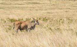 Eland i Ngorongoroen Fotografering för Bildbyråer