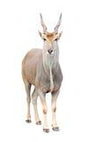 Eland isolated. Eland (Taurotragus oryx) isolated on white background Stock Photo