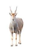 Eland isolated. Eland (Taurotragus oryx) isolated on white background Stock Image