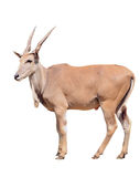 Eland isolated Royalty Free Stock Image