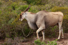 Eland - the largest antelope in Africa. The common eland, also known as the southern eland or eland antelope, is a savannah and plains antelope found in East and Stock Photos