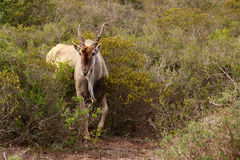 Eland - the largest antelope in Africa. The common eland, also known as the southern eland or eland antelope, is a savannah and plains antelope found in East and Stock Photo