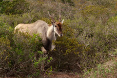 Eland - the largest antelope in Africa. The common eland, also known as the southern eland or eland antelope, is a savannah and plains antelope found in East and Stock Photography