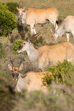 Eland - the largest antelope in Africa Royalty Free Stock Image