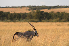 Eland. Royalty Free Stock Photography