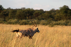 Eland. Stock Photography