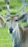 Eland at Longleat Wildlife Park Royalty Free Stock Photos