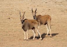 Eland. Male and Female Eland in Kalahari Stock Photos