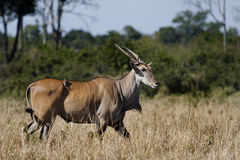 Eland, Masai Mara Stock Photography