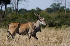 Eland, masai Mara Photographie stock