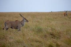 Eland, Masai Mara, Kenja, Afryka obrazy royalty free
