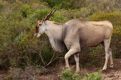 Eland - o antílope o maior em África Fotos de Stock