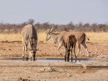 Eland och röda Hartebeest Fotografering för Bildbyråer