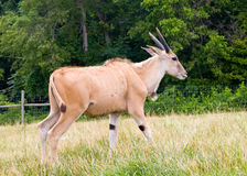 Eland Oryx Stock Photo