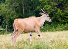 Eland Oryx Stock Photo