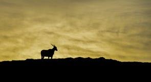 Eland på gryning Arkivbild