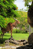 Eland Posing. The Giant Eland is the largest antelope in the world.  Photographed in a South Florida zoo Stock Photos