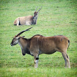 Eland Royalty Free Stock Photos