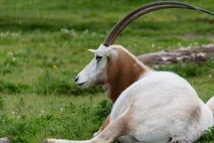 Eland in profile Stock Photos