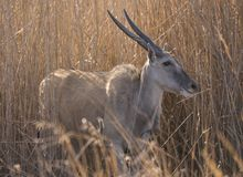 Eland female standing in reeds stock photo