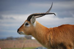 The Eland in the safari park. The eland is the largest living antelope in the world. It  is a savannah and plains antelope found in East and Southern Africa Stock Photos