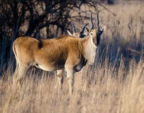 Eland from side Stock Photography