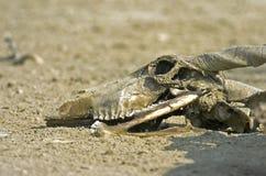 Eland skull. The skull of an Eland bears testimony to the harshness of the Kalahari royalty free stock image