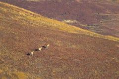 Eland som går över berggrässlätt Arkivfoton