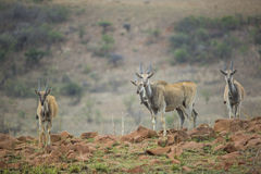 Eland in South Africa Royalty Free Stock Image