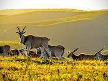 Eland stado przy zmierzchem Fotografia Royalty Free