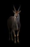 Eland standing in the dark. With spotlight Stock Photos