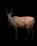Eland standing in the dark. With spotlight Stock Photography