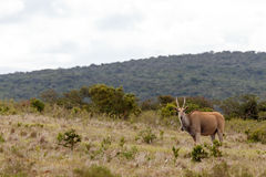 Eland standing and watching you Stock Images