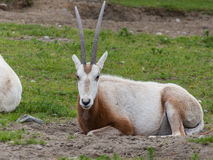 Eland staring Royalty Free Stock Photo