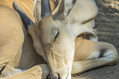 Eland steppe Stock Photos