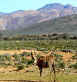 Eland sudafricano Fotografia Stock Libera da Diritti