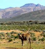 Eland sudafricano Immagini Stock Libere da Diritti