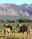 Eland sudafricano con il vitello Fotografia Stock