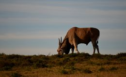 Eland at sunset, Addo Elephant National Park, South Africa Royalty Free Stock Photo