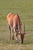 Eland, taurotragus oryx Stock Photo