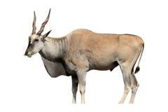 Eland, Taurotragus oryx Fotografia Royalty Free
