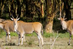 Eland Taurotragus oryx in Africa savannah nature. The common eland Taurotragus oryx, southern eland antelope, savannah and plains antelope in Africa. wild Royalty Free Stock Photos