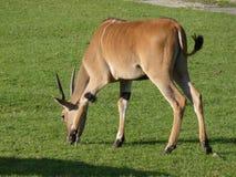 Eland, Taurotragus oryx, jest wśród wielkiej antylopy Zdjęcia Royalty Free