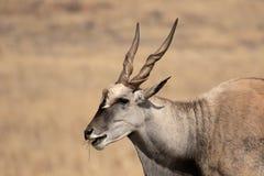 Eland, Taurotragus oryx Stock Photo