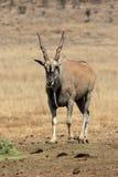 Eland, Taurotragus oryx Stock Photos