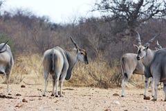 Eland, Taurotragus oryx, at the waterhole Bwabwata, Namibia Stock Photo