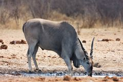 Eland, Taurotragus oryx, at the waterhole Bwabwata, Namibia Stock Photos