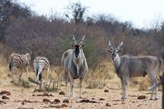 Eland, Taurotragus oryx, at the waterhole Bwabwata, Namibia Stock Image